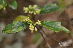 Pittosporum glabratum   Pittosporaceae (Cheng Wenda) Tags: pittosporum pittosporaceae glabratum