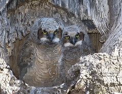 GREAT HORNED OWLETS FB2_8323 (francesbrown266) Tags: ngc coth coth5