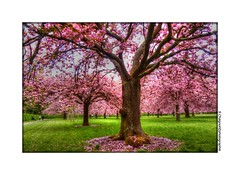P1990018 (cowsandgirl71) Tags: nature rose fleurs vert panasonic ciel nuage arbre parc printemps couleur sceaux fz200 cowsandgirl71