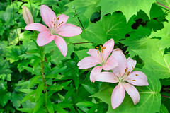 Lilium / Lis sp (Photo prise aux Jardins de Mtis) (Gaetan L) Tags: jardins gaspsie provincedequbec fleuvestlaurent route132 baslaurent grandmtis nikond7000 mtishorticultureflowerfleurplatebandeflowerbed