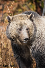 GB398 (Sam Parks Photography) Tags: autumn fall animal closeup rockies mammal nps wildlife large headshot valley yellowstonenationalpark rockymountains wyoming tight predator carnivorous carnivore ynp biggame parkservice grizzlybear predatory silvertip gye omnivorous ursidae carnivora omnivore ursine ursusarctoshorribilis verticalorientation greateryellowstoneecosystem northamericanbrownbear hyperphagia