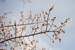Spring flowers on tree (michaelraleigh) Tags: flower tree 50mm spring takumar bloom apricot smc f4