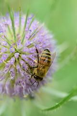 Bee Happy (Sowjanya _) Tags: happy quote bee