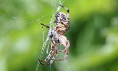 0607 Larinioides cornutus (jon. moore) Tags: staffordshire arachnida larinioidescornutus staffordshireuniversitynaturereserve furroworbspider