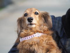 P5020681 (mina_371001) Tags: dog pet cute animal japan sapporo hokkaido photographywork olympusomdem10