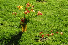 Abgeblhter Tulpenstrau (9) (Chironius) Tags: flower rot fleur blossom flor  fiore blte tulipa tulpen blten liliaceae  liliales  liliengewchse lilienartige lilioideae