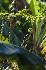 long-tailed shrike (arcibald) Tags: bird birds philippines aves rizal shrike laniusschach longtailedshrike pililla
