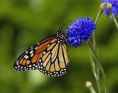 Monarch, male (Danaus plexippus) (AllHarts) Tags: ngc npc memphistn flickerites dixongardens monarchdanausplexippus butterflygallery naturescarousel challengeclubchampions