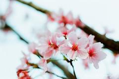 18 () Tags: pink flowers food flower castle film zeiss cherry 50mm fuji pentax blossom blossoms jena mc 400 carl m42 ddr cherryblossom fujifilm cherryblossoms f18 spf   50mmf18 fujicolor   filmphotography   czj      pancolar akura       czjpancolar50mmf18      wearpractice  carlzeissjenaddrpancolar50mmf18mc fujicolor 18 bloom  beautifulaffairbylyx