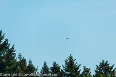 RedTail Hawk14_DSC5211.jpg (orig_lowolf) Tags: usa bird oregon nikon flickr hawk crows frontyard attacking lakeoswego d300s sigma150500mmf563afapodgoshsmtelephotozoom