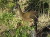 Klipspringers (Prosthetic_Head) Tags: animals southafrica sa pilanesberg unidentifiedanimals animalidentification