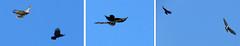 A common buzzerd and a crow fighting over territory (Elisa1880) Tags: bird netherlands leiden nederland crow fighting common vogel territory vechten kraai buzzerd buizerd roofvogel cronesteyn territorium polderpark