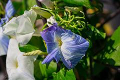 Blue Beauty Green (Gabriel FW Koch) Tags: blue light wild sun white macro green nature closeup canon garden eos spring dof bokeh gardening stripes naturallight springtime 5dmarkiii