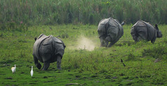KAZ_189 (soggy_3_16) Tags: birds nikon wildlife rhino 70300 kaziranga d90