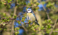 Blue tit (The Rustic Frog) Tags: camera uk wild england nature digital canon lens eos 7d perched 100400mm midlands markii
