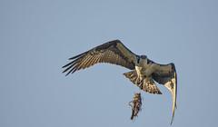 Osprey nest building (Frank O Cone) Tags: birds wings raptor osprey nests