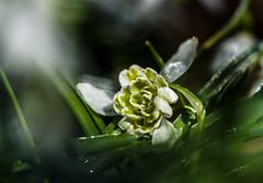 Angestrahlt (Sascha Wolf) Tags: plant flower de deutschland spring nikon pflanze d750 blume tamron 90mm frhling schneeglckchen badenwrttemberg waldenbuch