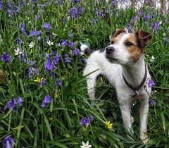 Bluebell Woods (djangostan) Tags: dog bluebells wales jack russell terrier jackrussell