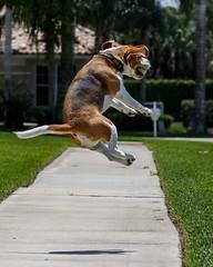 Brody-5827 (Don Burkett) Tags: dog pet beagle animal puppy hound brody outdor