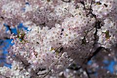 cherry blossom season (explored) (Sina Farhat) Tags: flowers light white colors canon göteborg spring raw colours sweden bokeh flash sunny cherryblossom sakura sverige blommor järntorget vår 031 färger ljus gothenborg vit 50d soligt skärpedjup körsbärsträd canon50mm14usm canon580exii fotosondag photoshopcc iskyn fs160424