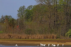 You Never Know Who's Watching (Parris Photography) Tags: wood trees landscape scenery eagle delaware egrets bombayhook parrisphotography