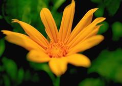 Focus (Rajavelu1) Tags: flowers plant art yellow creative artland macrophotograph canon60d