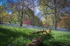 WinkworthBluebells (Martin_Finlayson) Tags: bluebells spring nikon arboretum surrey hillside nationaltrust winkworth d600 1835mm lighroom