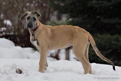 160430 Erynn 15 weeks-34-Edit (Shepherd) Tags: snow puppy spring colorado wheaton littleton wolfhound irishwolfhound 15weeks erynn nikkor70200mmf28 nikond4s seaton