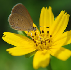 Another macro shot of a blue grass butterfly (Robert-Ang) Tags: insect singapore bluegrass