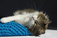 Obiwan (leporcia) Tags: cats animals cat feline chat kitty gatos gato felino animales katze gatto katzen animalplanet obiwan obiwn