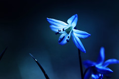 Spellbound (Rosemary Danielis) Tags: flowers blue plants nature glow quotes wildflowers magical macrophotography naturequotes