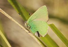 Green Hairstreak Butterfly (Prank F) Tags: macro green nature closeup butterfly insect wildlife hairstreak wildlifetrust twywellhillsdales northantsuk