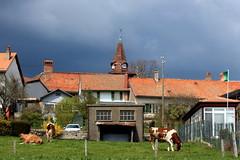 in the back garden (overthemoon) Tags: schweiz switzerland village cows suisse spire svizzera frontpage vaud romandie lacte marchissy longirod