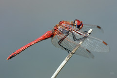 2012_IMG_8613 (niek haak) Tags: dragonflies dragonfly odonata libel sympetrumfonscolombii zwervendeheidelibel