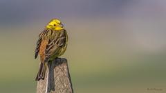 Yellow bird (R - P Photography) Tags: bird nature birds animal animals yellow canon schweiz switzerland suisse animaux oiseau vogel oiseaux piquet animalier bruantjaune canoneos7dmarkii canonef500mmf4isii ef500mmf4isii