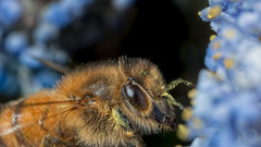 Bee Working  IMG_9897_5 (fredpiv) Tags: macro closeup canon bug bee abeille apis 70d canonmpe65 canonfrance canoneos70d canon70d naturalinsect insectesnaturels