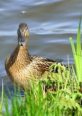 Stockente (Cathrine1) Tags: animal germany deutschland duck ente tier stockente bremervrde vrdersee