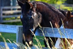 Beau-Fence-Graze (sagetopaz) Tags: horses horse oregon day may thoroughbred equine