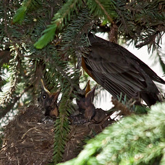 Feeding Time in the Robin Nest (LongInt57) Tags: family red orange baby brown canada tree green nature birds yellow babies open bc adult nest feeding okanagan wildlife father families mother robins parent giving chicks kelowna spruce coniferous nesting conifer receiving beaks