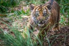 Baby Tiger in the Grass (helenehoffman) Tags: animal sumatra mammal cub tiger bigcat sumatrantiger carnivore felidae pantheratigrissumatrae specanimal conservationstatusendangered sandiegozoosafaripark