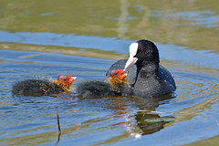 Coots at Marquenterre (robmcrorie) Tags: france bird nature lens nikon birding young reserve parc coot 56 fledgling nord crocs bout 200500 marquenterre somme