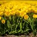 Golden+Tulips+in+Holland
