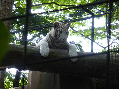 P1010114 (laurent.daull) Tags: france zoo animaux zoodebeauval 2013 tigreblanc