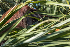 Always watching... (Lovely Lizards Photography) Tags: nature zoo wildlife neworleans orangutan audubonzoo sumatranorangutan theaudubonzoo lovelylizardsphotography photobyrogerreetz rogerreetz