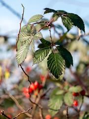 Late autumn bokeh (elkarrde) Tags: autumn green nature colors leaves lumix dof bokeh outoffocus depthoffield panasonic autumncolors manualfocus helios helios44m colorexplosion 258 selectivefocus twop shallowdof 2015 kmz russianlens bokehlicious 44m lens:mount=m42 gx7 dofalicious lens:focallength=58mm dmcgx7 panasoniclumixdmcgx7 panasonicgx7 camera:model=dmcgx7 lens:maxaperture=2 lens:format=135 autumn2015 lens:brand=kmz camera:brand=lumix camera:brand=panasonic camera:format=microfourthirds camera:mount=microfourthirds kmzhelios44m258 lens:model=helios44m