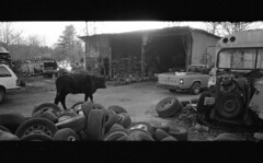 img340_1 (ahniton) Tags: 2 panorama film 35mm cow cows mju huntsville alabama olympus ii 400 stylus junkyard epic ultrafine