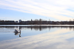 Lake (barbariskiss) Tags: travel lake bird finland spring swan helsinki traveling