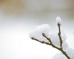 Snowy Branch (oandrews) Tags: branch cold crystals england freeze freezing frozen garden home ice nature plants snow uk uksnow weather white winter winterwatch northamptonshire unitedkingdom gbr wexmondays