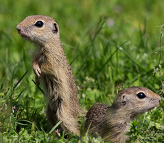 Two European ground suirrels (vvpopov) Tags: wild portrait brown cute nature ecology face grass animal closeup fauna standing hair fur mammal rodent eyes furry squirrel sitting natural feeding wildlife small guard ears ground hungry feed curious wilderness upright creature alert snout burrow burrows watchful spermophilus citellus europeangroundsuirrel spermophilluscitellus