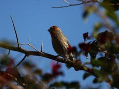 house finch (ranchodon) Tags: bird canon finch 7d